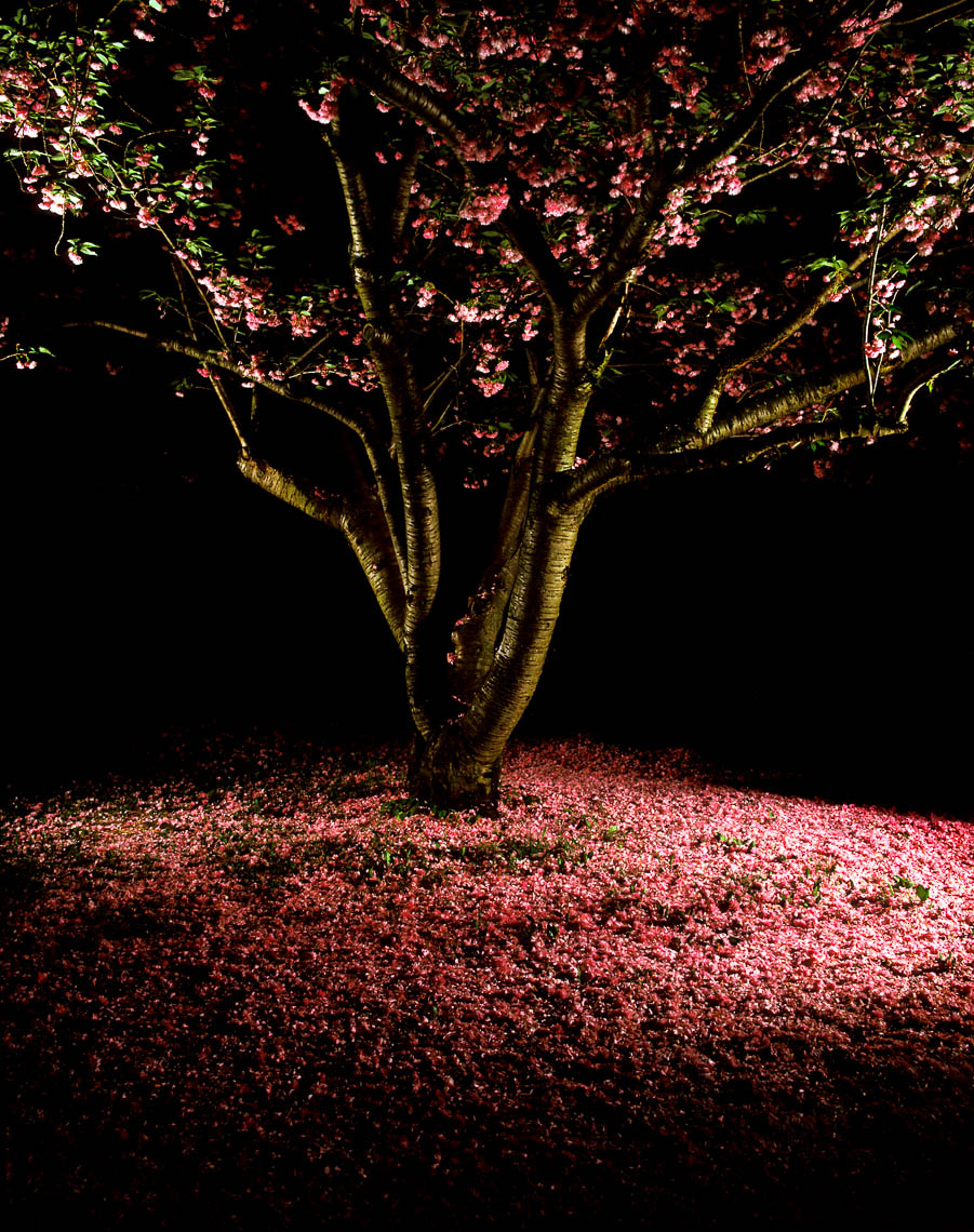 Cherry Night NJ | Garden State
